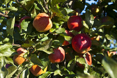 Reife Äpfel auf einem Baumzweig Stockbild