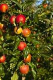 Reife Äpfel auf einem Baumzweig Stockbilder