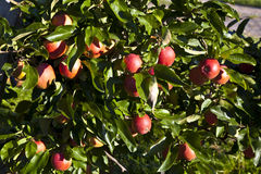 Reife Äpfel auf einem Baumzweig Lizenzfreies Stockfoto