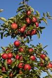 Reife Äpfel auf einem Baumzweig Lizenzfreies Stockbild