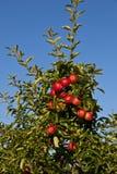 Reife Äpfel auf einem Baumzweig Stockfoto