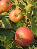Reife Äpfel auf einem Zweig Stockbild