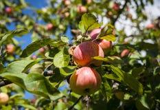 Reife Äpfel auf einer Niederlassung stockbild