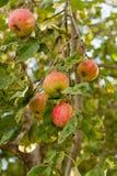 Reife Äpfel, die an einer Niederlassung am Obstgarten hängen Lizenzfreies Stockbild