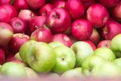 Reife Äpfel, erntend im Garten Lizenzfreie Stockfotos