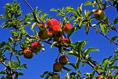 Reife Äpfel im Garten Lizenzfreie Stockfotografie