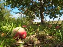 Reife Äpfel im Obstgarten Stockbilder