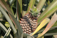 Reife Ananaslüge auf womans Hand lizenzfreies stockbild