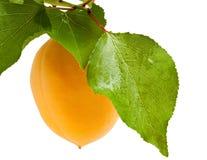 Reife Aprikose auf Zweig Stockfotografie