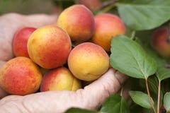 Reife Aprikosen in den Händen des Landwirts Lizenzfreie Stockbilder