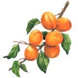 Reife Aprikosenniederlassung mit den Blättern, lokalisiert, Aquarellillustration auf weißem Hintergrund vektor abbildung