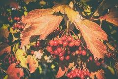 Reife Beere Guelder-Rose, Viburnum Stockfoto