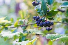 Reife Beeren Chokeberries auf der Niederlassung im Garten Lizenzfreies Stockfoto