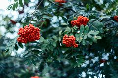 Reife Beeren der Eberesche, wachsen auf Baum, rote Beeren des Herbstes, Nahaufnahme, Weinleseart in einem Park Stockfoto