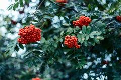 Reife Beeren der Eberesche, wachsen auf Baum, rote Beeren des Herbstes, Nahaufnahme, Weinleseart in einem Park Stockfotos