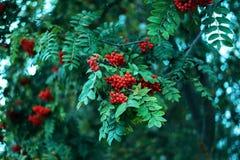 Reife Beeren der Eberesche, wachsen auf einem Baum, rote Beeren des Herbstes, Nahaufnahme, Weinleseart in einem Park Lizenzfreie Stockfotografie