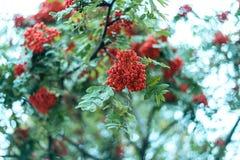Reife Beeren der Eberesche, wachsen auf einem Baum, rote Beeren des Herbstes, Nahaufnahme, Weinleseart in einem Park Stockfotos