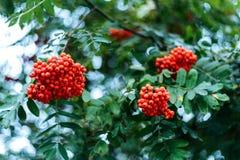 Reife Beeren der Eberesche, wachsen auf einem Baum, rote Beeren des Herbstes, Nahaufnahme, Weinleseart in einem Park Lizenzfreies Stockfoto