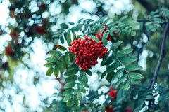 Reife Beeren der Eberesche, wachsen auf einem Baum, rote Beeren des Herbstes, Nahaufnahme, Weinleseart in einem Park Lizenzfreie Stockfotos