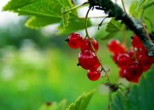Reife Beeren der roten Johannisbeere, Bush Lizenzfreies Stockbild