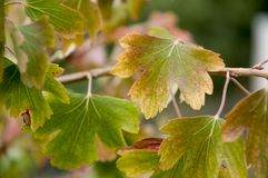 Reife Beeren der Schwarzen Johannisbeere sind im Garten wachsend Früher Herbst Lizenzfreie Stockfotografie