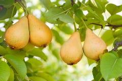 Reife Birnen auf Baum stockfotos