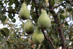 Reife Birnen auf Baumast im Biogarten Abschluss herauf Ansicht von Birnen wachsen auf Birnenbaumast mit Blättern darunter Lizenzfreies Stockbild