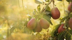 Reife Birnen auf einem Baum im Sonnenschein stock video footage