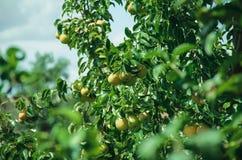 Reife Birnen auf einem Zweig Stockfotografie