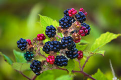 Reife Blackberry-Niederlassung Lizenzfreie Stockfotos