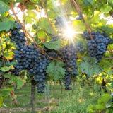 Reife blaue Trauben hängen in der Hintergrundbeleuchtung der Sonne auf dem Busch lizenzfreie stockbilder