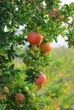 Reife bunte Granatapfel-Frucht auf Baumast. Das Laub auf dem Hintergrund Lizenzfreie Stockbilder