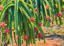 Reife Drachefrucht Stockbild