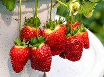 Reife Erdbeere Stockfoto
