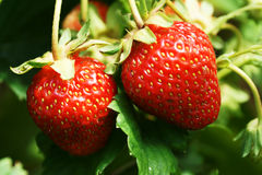 Reife Erdbeere auf einer Niederlassung Lizenzfreie Stockbilder