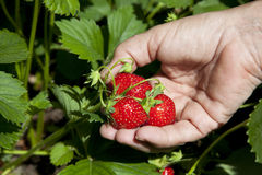 Reife Erdbeere in der weiblichen Hand Lizenzfreie Stockfotografie