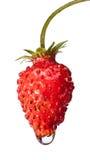 Reife Erdbeere mit Wassertropfen Stockbilder