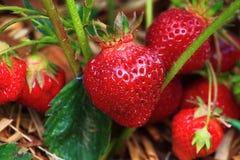 Reife Erdbeereanlage Stockfoto