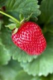 Reife Erdbeereanlage Lizenzfreies Stockfoto