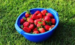 Reife Erdbeeren auf dem Gras vom Garten Lizenzfreie Stockfotografie