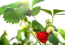 Reife Erdbeeren, Blätter und grüne Beeren Stockfotografie