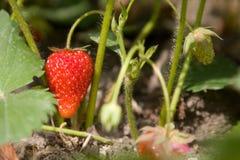 Reife Erdbeeren im Busch Stockfotos