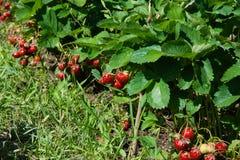 Reife Erdbeeren im Garten Lizenzfreie Stockfotografie