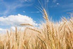 Reife Ernte, Ackerland Goldweizenfeld und blauer Himmel Sommertag, ländliche Landschaft lizenzfreies stockbild