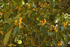 Reife Feigenbaumfrucht lizenzfreie stockfotos