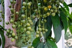 Reife Früchte birmanischen Traube baccaurea ramiflora Phyllanthaceae von Asien stockbilder