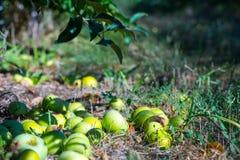 Reife Früchte von den grünen Äpfeln, die unten von den Niederlassungen von yo fallen stockfotografie