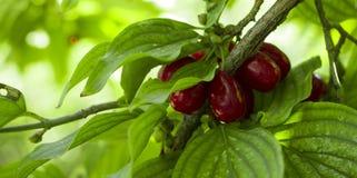 Reife Früchte von Kornelkirschen Kornelkirsche mas als Hintergrund lizenzfreie stockbilder