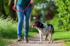 Reife Frau mit Bretagne-Hund an der Leine stockfotografie