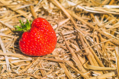 Reife frische ausgewählte Erdbeeren, die aus den Heugrund legen Lizenzfreie Stockfotografie